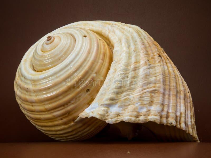 Beige Seashell stock afbeeldingen