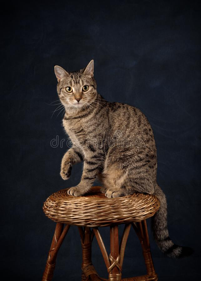 Beige Tabby Kitten op Rieten Kruk stock afbeeldingen