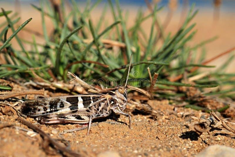 Beige und Schwarzes farbige Heuschrecke (Acrididae) lizenzfreie stockfotos
