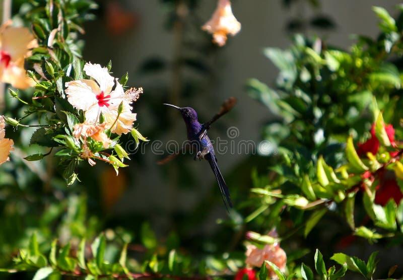 Beija-flor. Um beija-flor desfruta ao amanhecer o nectar de uma linda flor royalty free stock photo