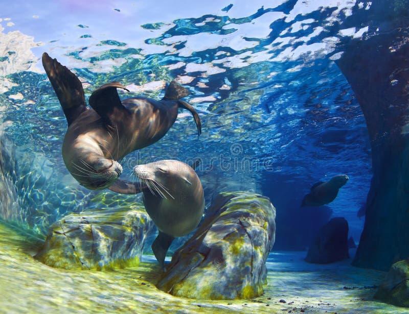 Beijando leões de mar imagem de stock