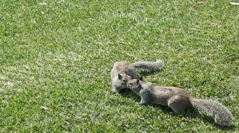 Beijando os esquilos #1 foto de stock royalty free