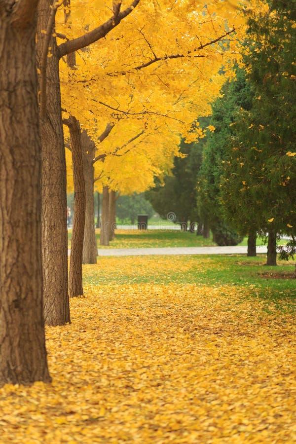 Beijing ditan park ginkgo. Beijing golden autumn season, ditan park avenue, ginkgo ginkgo tree leaves are golden royalty free stock image