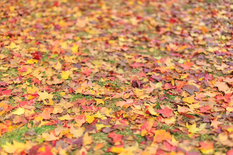 Beijing ditan park, ground leaves of autumn. Red leaves of Montreal, colorful royalty free stock photo