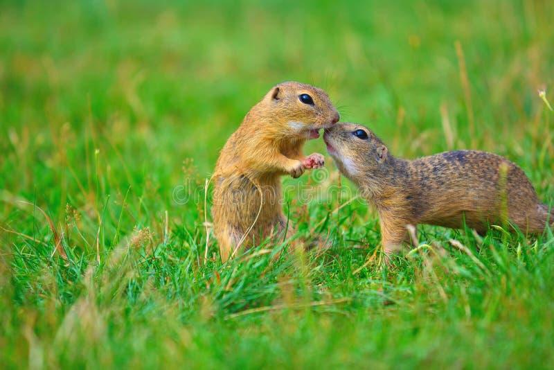 beijo Amor de pares do esquilo Os esquilos à terra estão beijando no prado O animal aprecia Valentine& x27; dia de s fotografia de stock