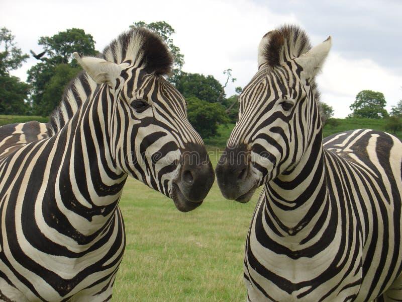 Beijo da zebra foto de stock