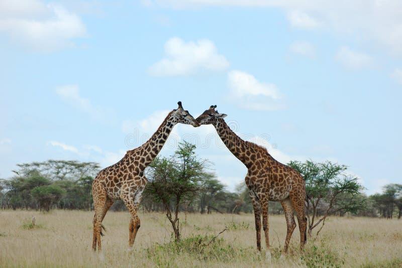 Beijo de dois girafas imagem de stock royalty free