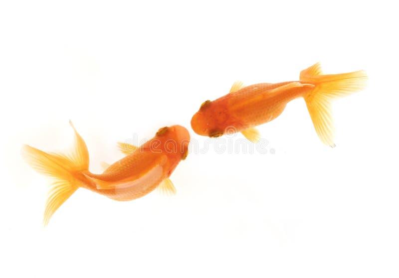 Beijo de dois goldfish foto de stock royalty free