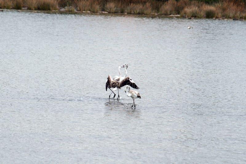 Beijo dos flamingos fotografia de stock royalty free