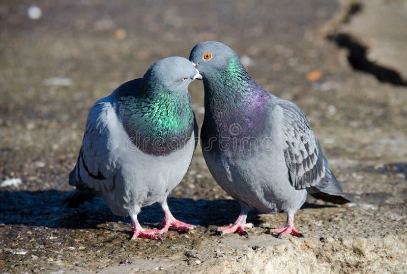 Beijo dos pombos fotografia de stock