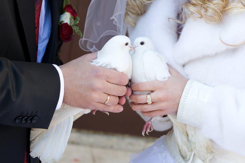 Beijo dos pombos brancos imagem de stock