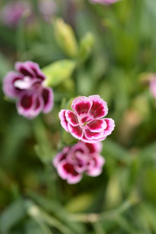 Beijos do rosa do cravo do potenciômetro imagens de stock