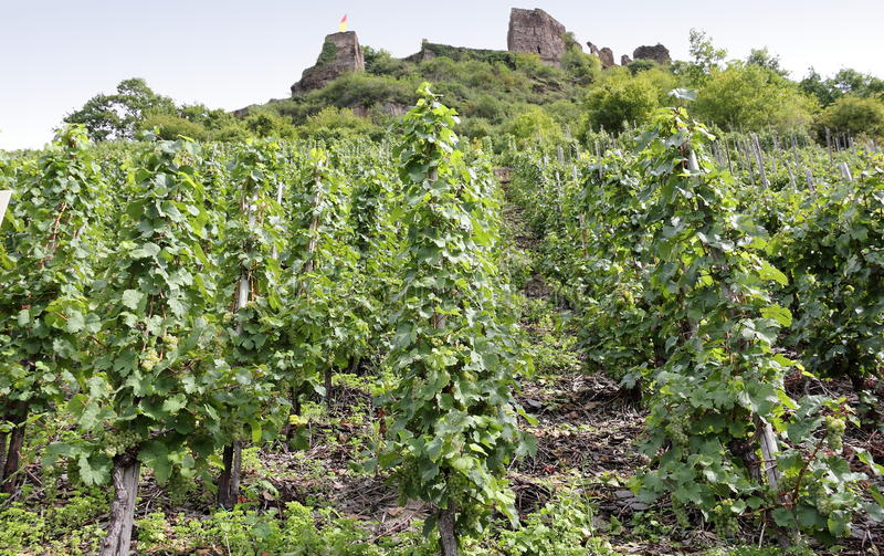 Beilstein vineyards along the river Moselle (Mosel), Germany. royalty free stock photos