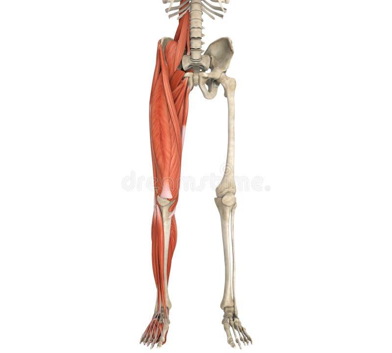 Bein-Muskel-Anatomie stock abbildung. Illustration von eignung ...