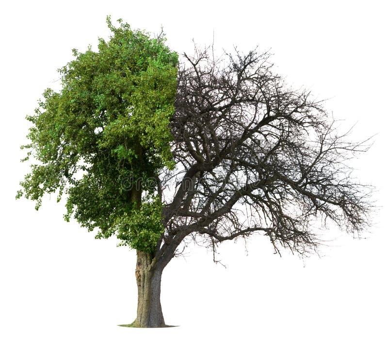 Beinahe grüner halber bloßer Baum lizenzfreie abbildung