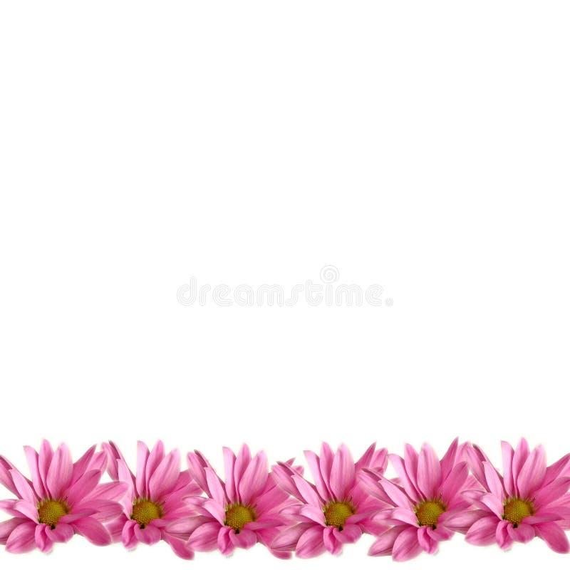 Beira cor-de-rosa das margaridas no branco fotografia de stock royalty free