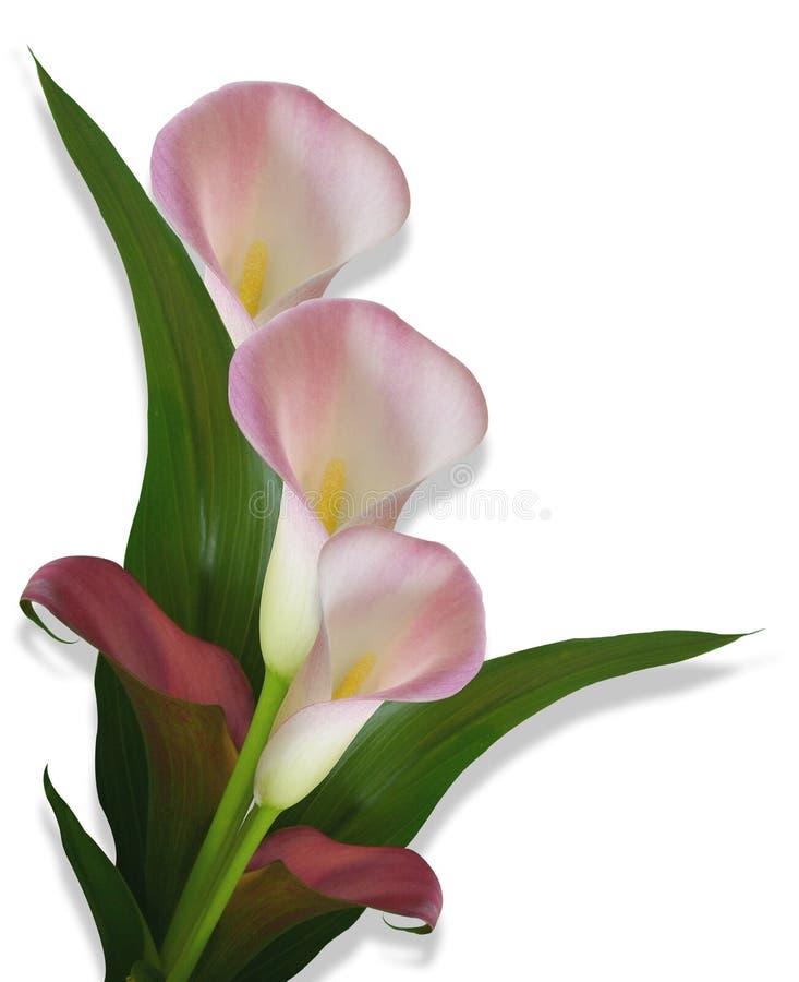 Beira cor-de-rosa dos lírios de Calla ilustração royalty free