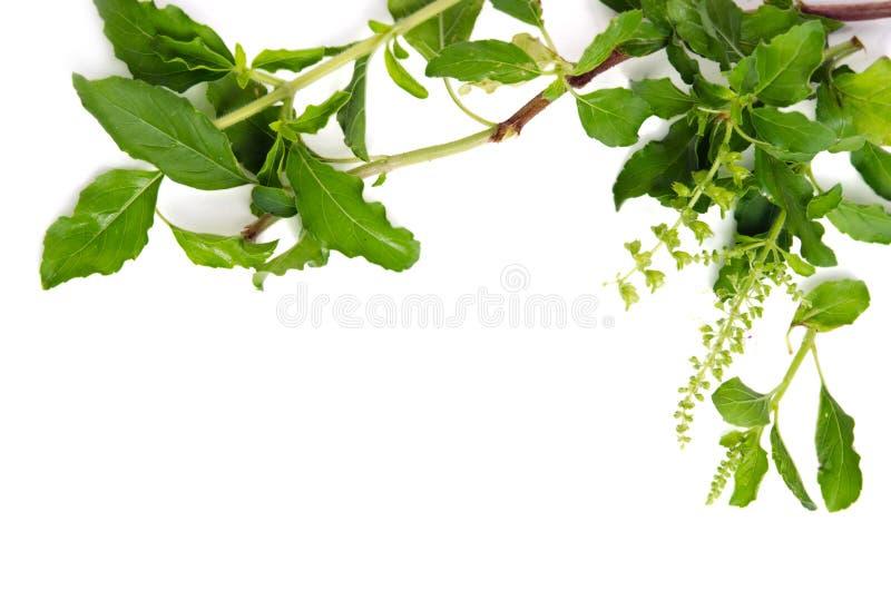 Beira da folha da manjericão no fundo branco para o gráfico decorativo res fotografia de stock