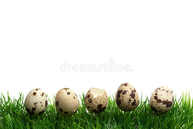 Beira da grama da Páscoa, isolada no branco, ovos de codorniz em seguido fotos de stock royalty free