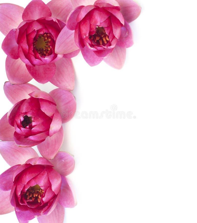 Beira de lírios de água cor-de-rosa frescos fotografia de stock
