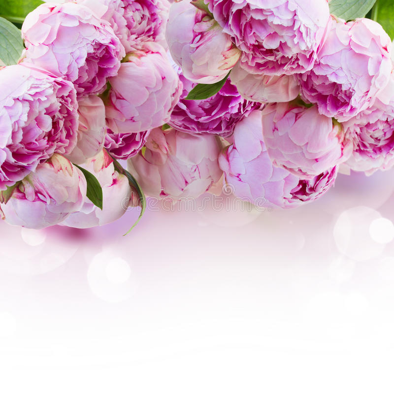 Beira de peônias cor-de-rosa fotos de stock royalty free