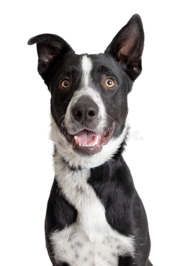 Beira de sorriso feliz Collie Crossbreed Dog Closeup foto de stock royalty free