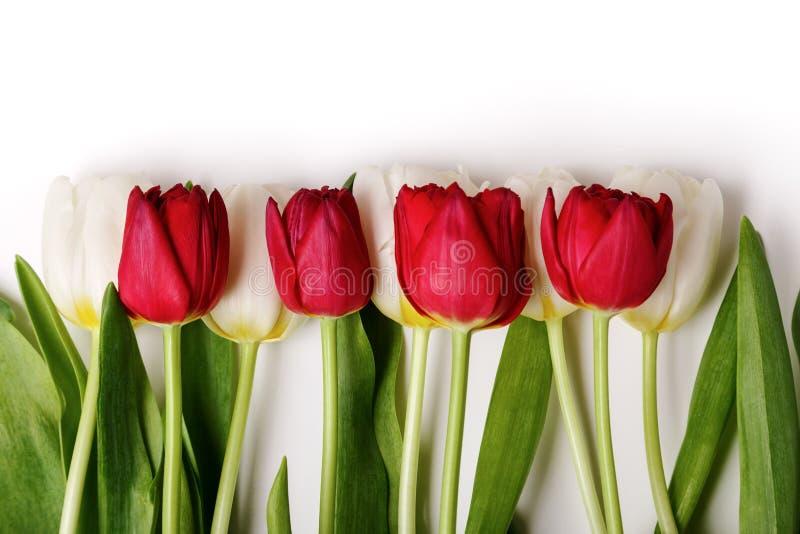 A beira de tulipas vermelhas e brancas frescas fecha-se acima no fundo branco Fundo da flor da mola foto de stock