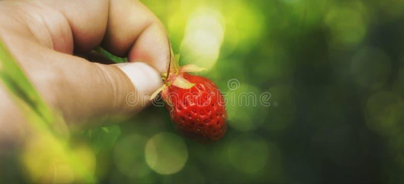 Beira do fundo do verão escolha uma morango na grama Fundo borrado do bokeh foto de stock royalty free