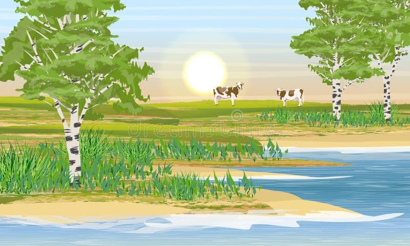 Beira do lago, bosque do vidoeiro e prado Duas vacas comem a grama ilustração stock