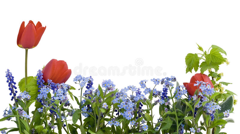 Beira do myosotis e dos tulips imagens de stock