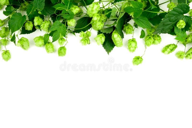 Beira dos ramos verdes do l?pulo no fundo branco brewing imagem de stock