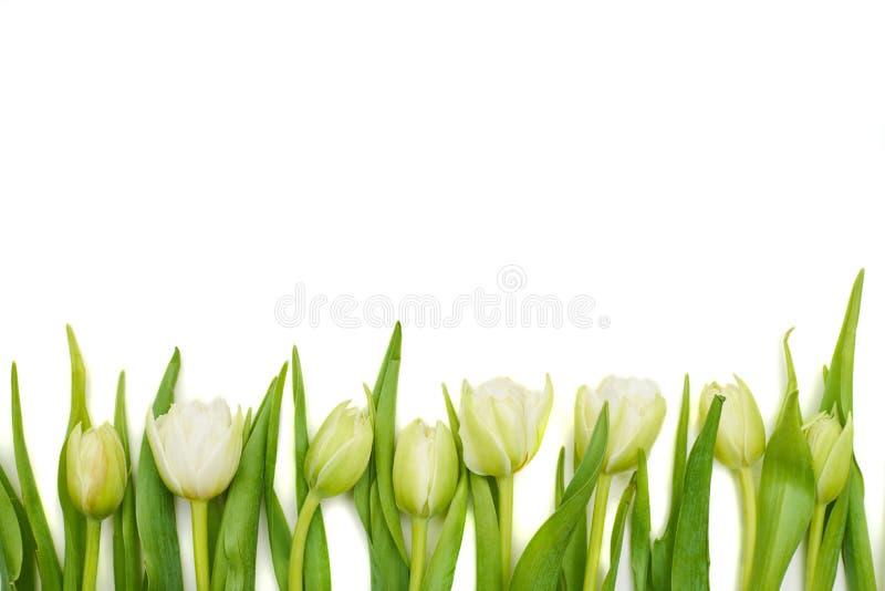 Beira floral de tulipas brancas frescas foto de stock royalty free
