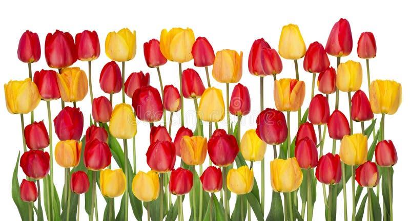 Beira grande das tulipas isolada fotografia de stock royalty free