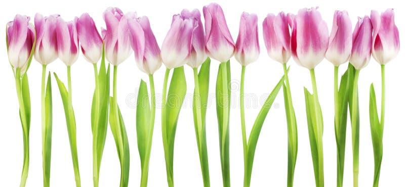 Beira isolada dos tulips cor-de-rosa foto de stock royalty free