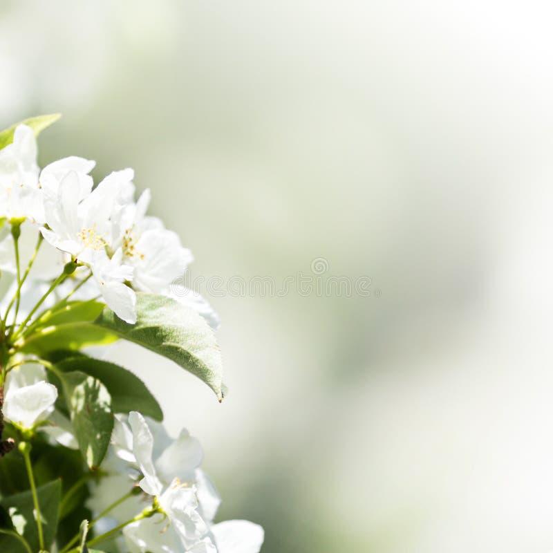Beira ou fundo da mola com a flor branca com ligh natural imagem de stock