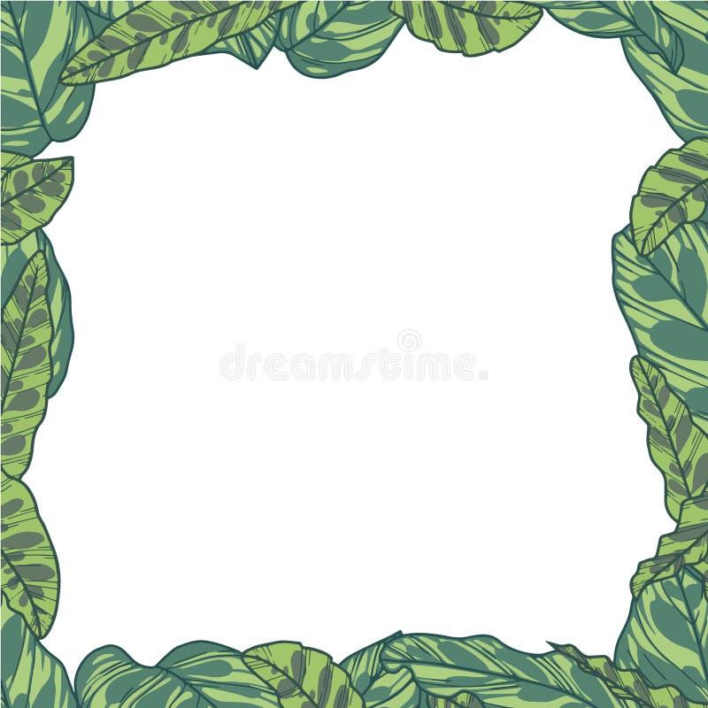 Beira retangular do vetor com as folhas da planta tropical de Calathea Makoyana e de Lancifolia ilustração royalty free