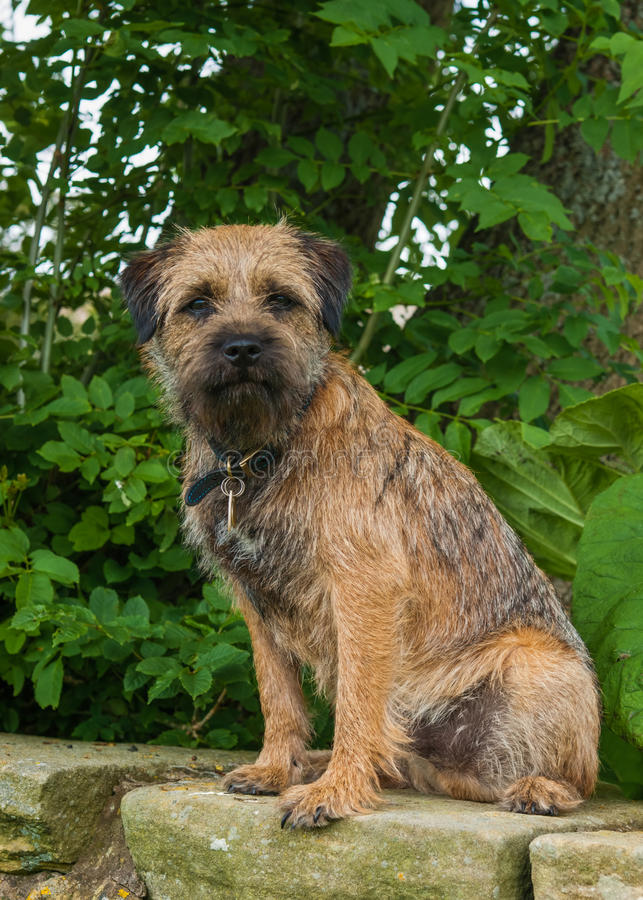 Beira Terrier foto de stock royalty free