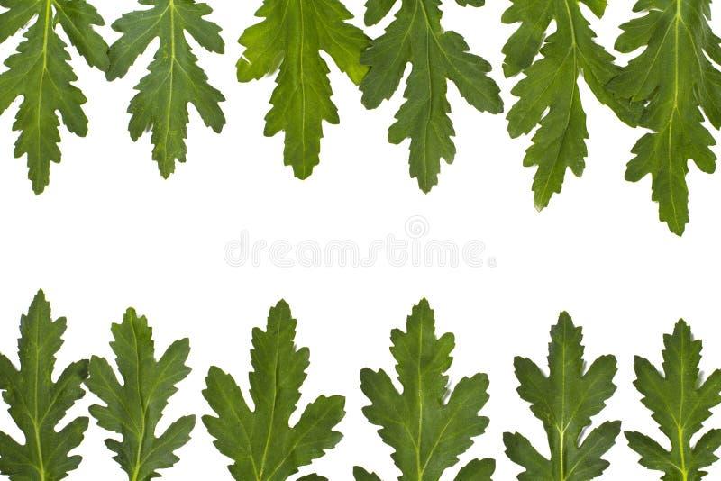 Beira verde da folha sobre o branco. close up imagem de stock