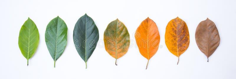 Beirado do close up na cor e na idade diferentes das folhas da árvore de jackfruit fotografia de stock royalty free