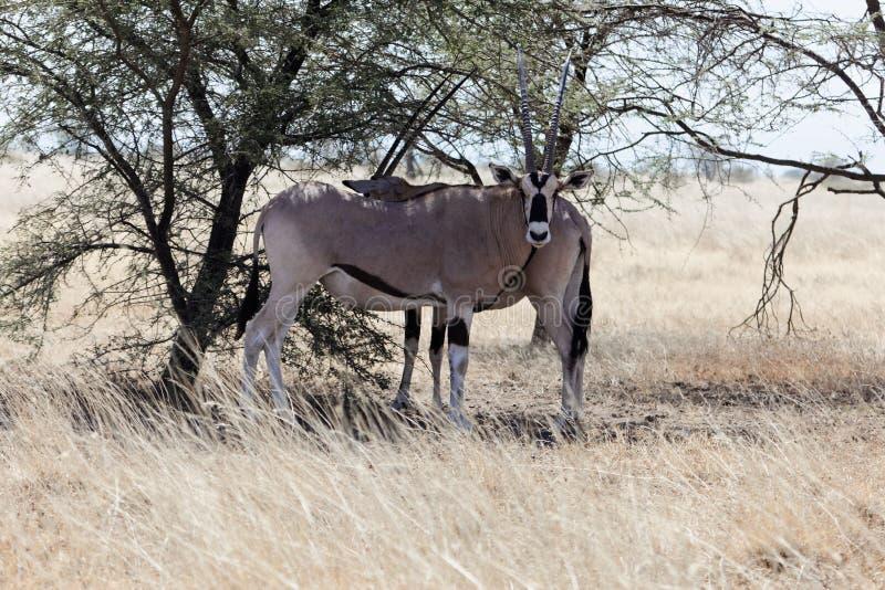 Beisa africain est d'oryx d'oryx image libre de droits