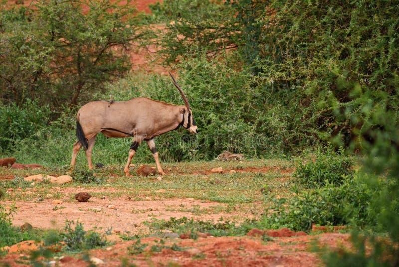 Beisa Oryx - beisa gazella Oryx στοκ φωτογραφίες