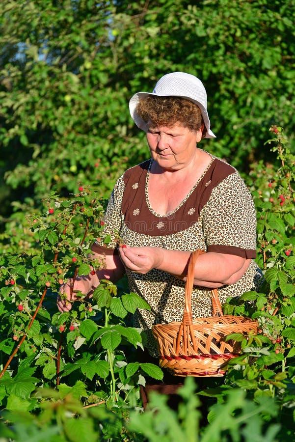 Bejaarde die frambozen in de tuin verzamelen stock fotografie