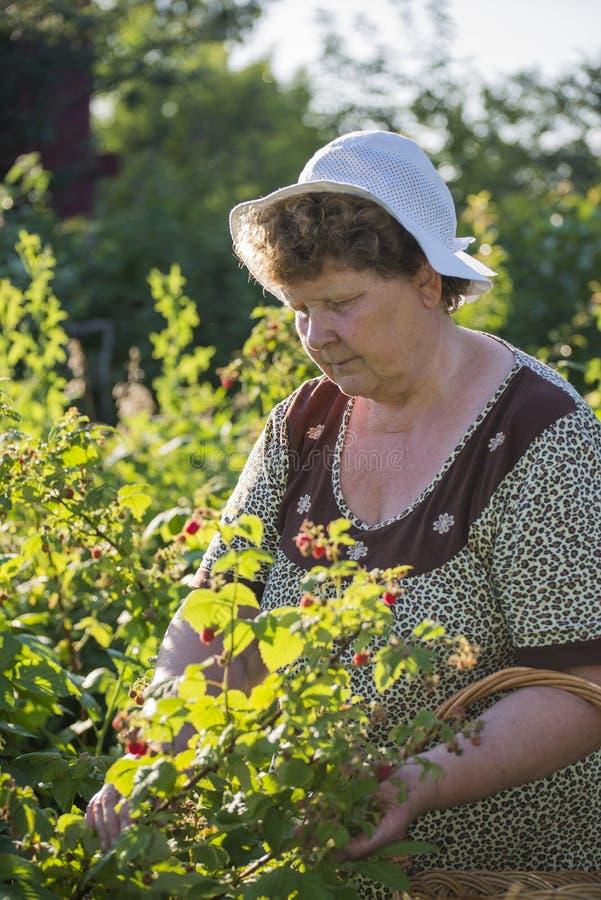 Bejaarde die frambozen in de tuin verzamelen stock foto