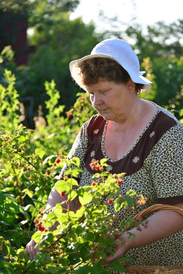 Bejaarde die frambozen in de tuin verzamelen stock afbeeldingen