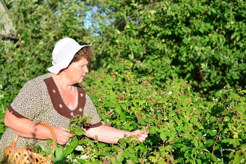 Bejaarde die frambozen in de tuin verzamelen royalty-vrije stock afbeeldingen