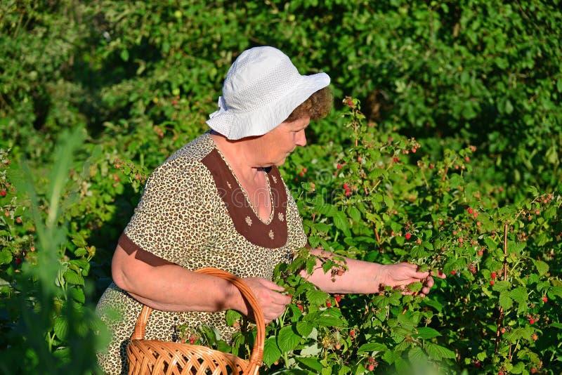 Bejaarde die frambozen in de tuin verzamelen royalty-vrije stock afbeelding