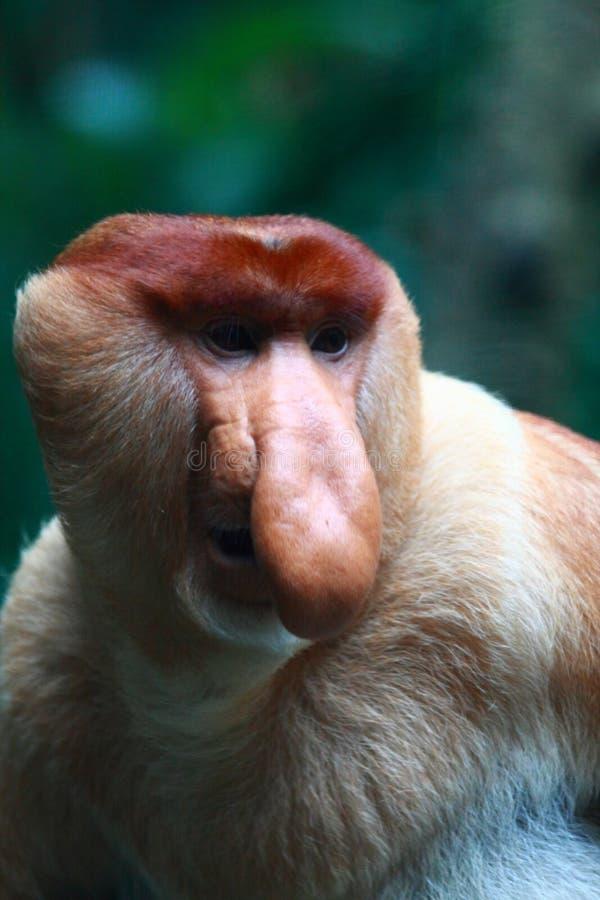 bekantan男性猴子象鼻 库存图片
