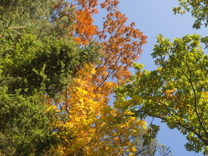 Bekijk omhoog kleurrijke de herfst gekleurde lange boomkronen en blauwe hemelachtergrond, oranje beuk en eiken boom, gele esdoorn stock afbeelding