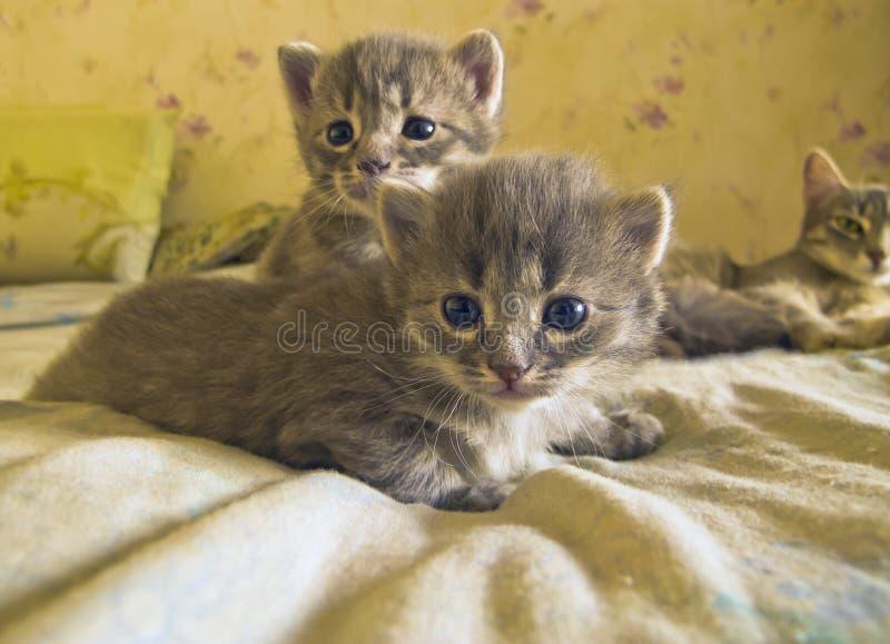 Bekijkt klein grijs voorzichtig katje twee de kijker royalty-vrije stock afbeelding