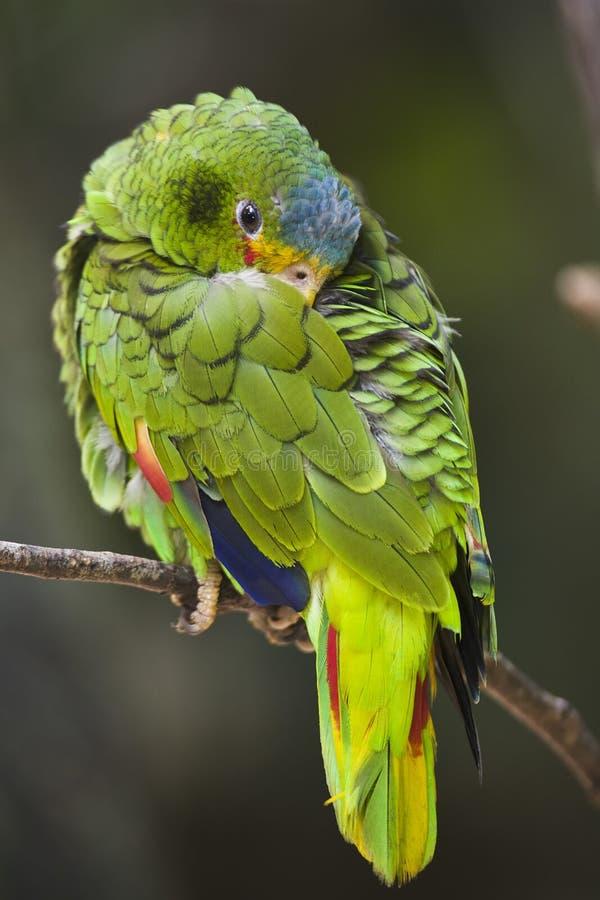 beklädd papegojawhite royaltyfria foton